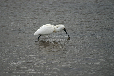 Black-faced Spoonbill (Platalea minor) wading through the Catlins, South Island, New Zealand