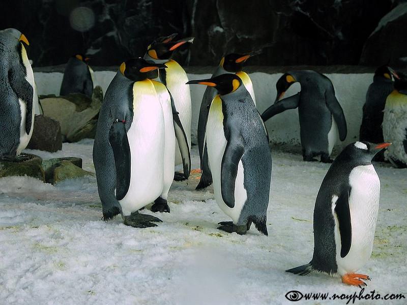 Emperor penguins in the Auckland zoo