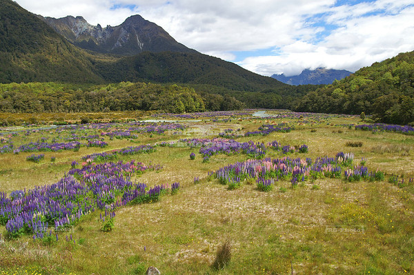 Russell Lupines (Lupinus polyphyllus) in full bloom in the Eglinton River Valley in Fiordland National Park, New Zealand