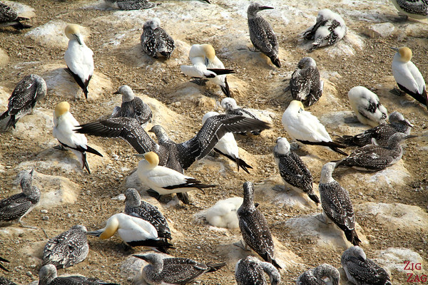 Gannet colony, Waikatere Ranges Tour, New Zealand photo 2