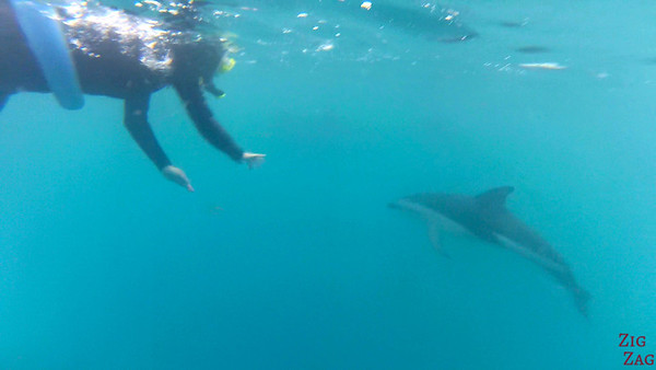 Swim with wild dolphin New Zealand photo 2