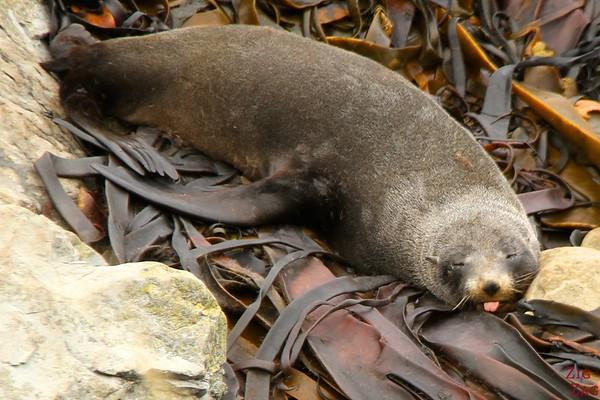 Best photo New Zealand - Ohau point seal