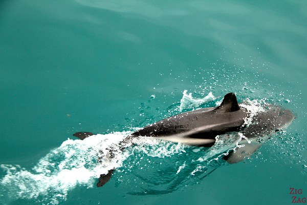 Dolphins from Boat photo 2