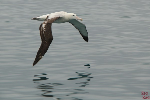 Albatross encounter, Kaikoura, New Zealand Photo 2