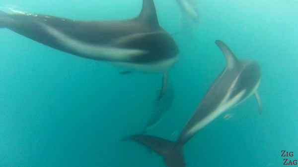 Swim with wild dolphin New Zealand photo 5