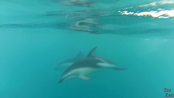 Swim with wild dolphin New Zealand photo 1