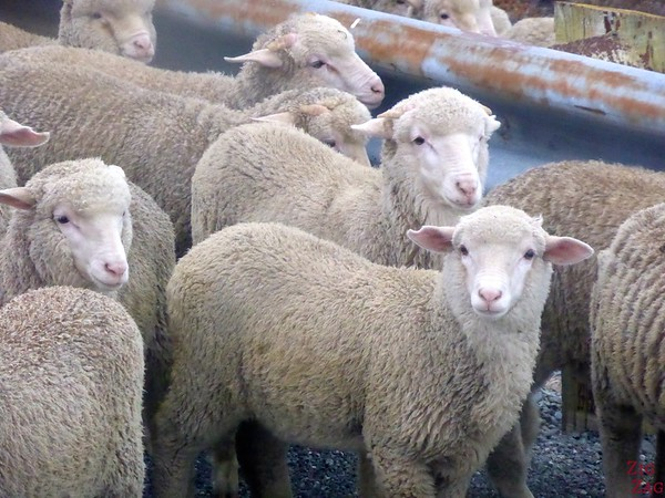 Sheep in New Zealand 4