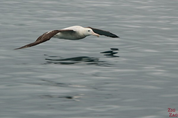 Albatross encounter, Kaikoura, New Zealand Photo 1
