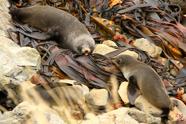 Ohau Point seal colony, New Zealand Photo 2