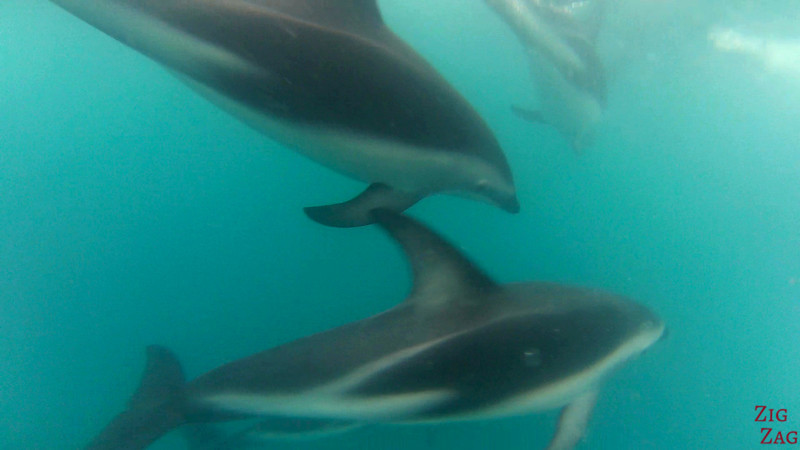 highlights in the South Island of New Zealand - dolphins