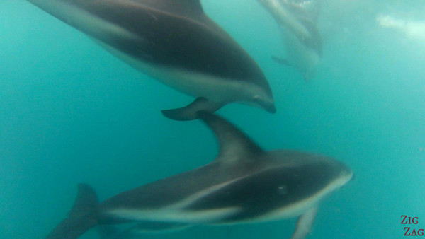 Swim with wild dolphin New Zealand photo 4