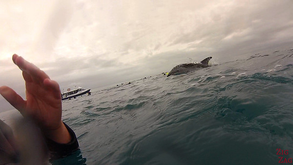 Swim with wild dolphin New Zealand photo 3