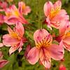 Larnach Flower