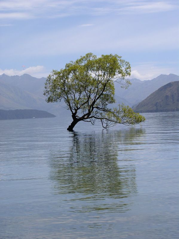 A lonely tree in Wanaka lake