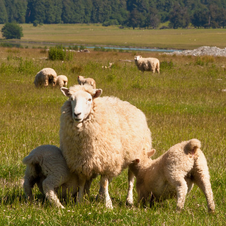Mother with her spring lambs, high country tour, near Queenstown.