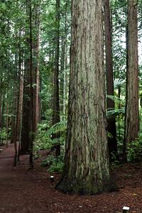 RedwoodForest_Dec11_HSB_1111