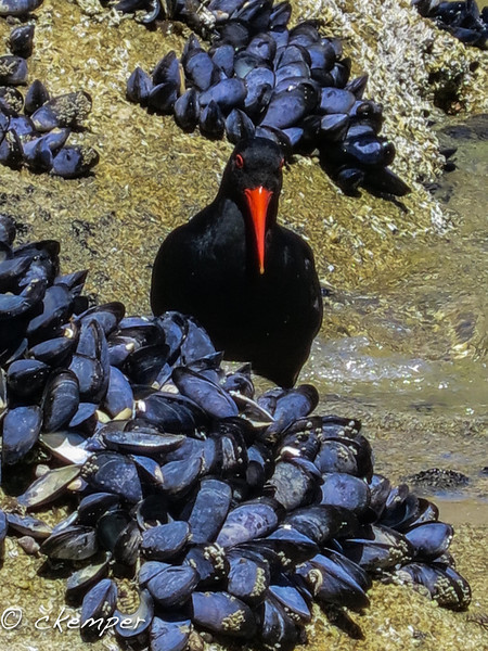 Oystercatcher, South Island