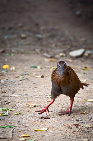 Weka, Queen Charlotte track, Marlborough Sounds.