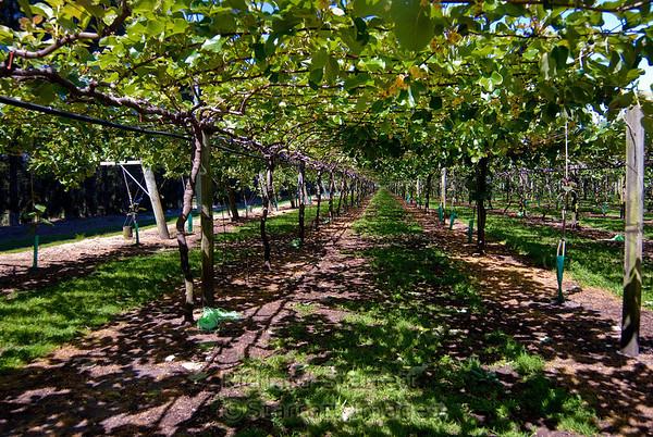 Kiwi grove