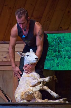 Newly shorn lamb, Agridome, Rotorua.