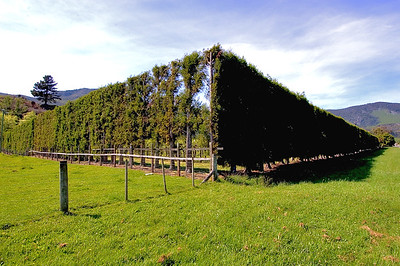 Hedge- Collingwood, New Zealand