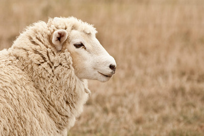 A sheep in the Port Hills of Christchurch.