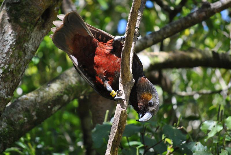 Kaka parrot, Zealandia wildlife sanctuary, Wellington