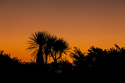Cabbage trees at sunset, south of Ross.