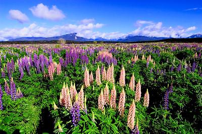 Lupins- Knob Flat, New Zealand