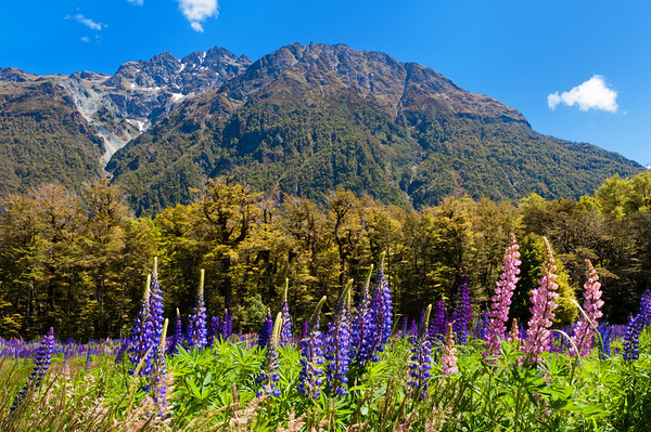 Lupines, near Milford Sound.