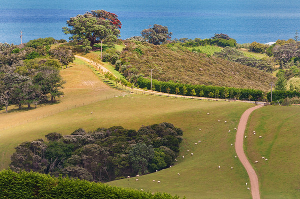 Sheep grazing, Waiheke Island.