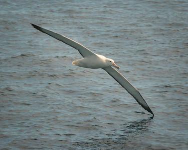 Australiasian Albatross