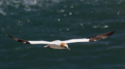 Australiasian Gannet in flight