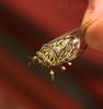 Cicada on Tiri Tiri Matangi NZ