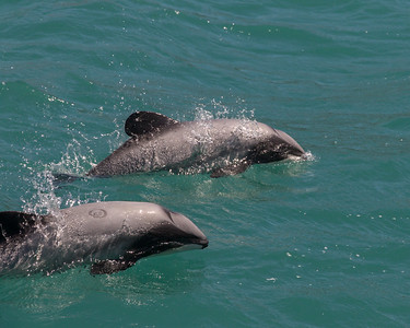 Hector's Dolphins, Akaroa