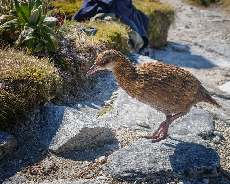 Weka - flightless New Zealand bird, chicken size.  I came across a number of these while hiking Milford Track