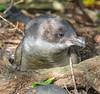 Little Blue Penguin Tiritiri Matangi Island