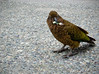 Kea, the southern most parrot