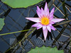 Lotus Flower at Auckland's Wintergarden