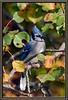 Blue Jay 6224