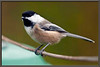 Black capped Chickadee 6220