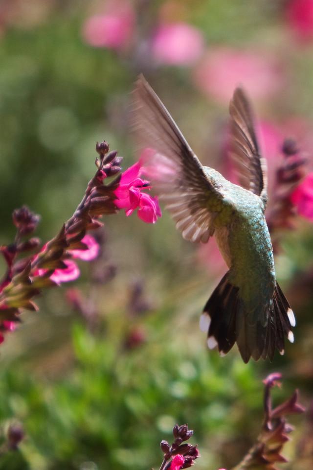 hummingbird part deux