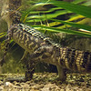 """<span id=""""title"""">Alligator</span> <em>Audubon Insectarium</em> The insectarium has a great wetlands exhibit, and I was surprised they actually had an alligator, albeit a very small one."""