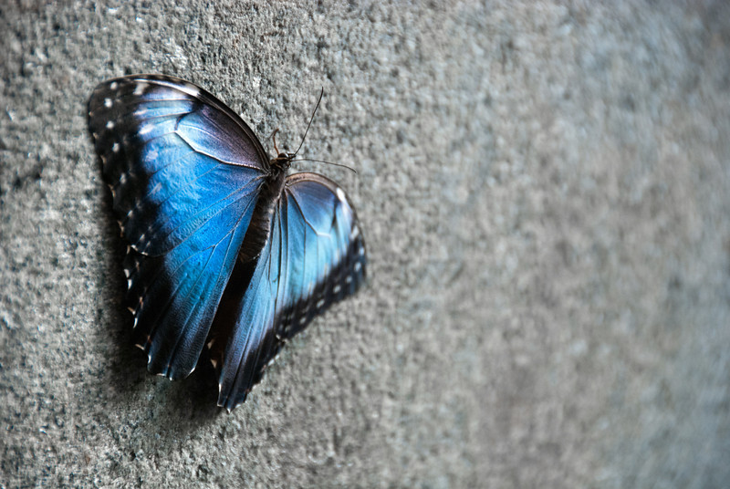 """<span id=""""title"""">Blue Morpho</span> <em>Audubon Insectarium</em> Probably the coolest butterflies were the huge blue morphos (<em>Morpho peleides</em>). Their wing undersides are brown with huge spots - completely different than their bright blue tops."""