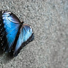 "<span id=""title"">Blue Morpho</span> <em>Audubon Insectarium</em> Probably the coolest butterflies were the huge blue morphos (<em>Morpho peleides</em>). Their wing undersides are brown with huge spots - completely different than their bright blue tops."