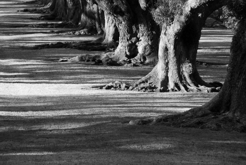 """<span id=""""title"""">Oak Trees</span> <em>Oak Alley Plantation</em> Row of nearly 200-year-old live oaks at Oak Alley. This shot was taken from the house, looking towards the Mississippi. Back in the day, you could have seen the river, but now the levees are too high."""