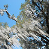 "<span id=""title"">Spanish Moss</span> <em>Audubon Park</em> We learned in out plantation tour that it used to be used in mattresses. After a night's sleep, a slave would be tasked with flattening the mattress back out, a process that took up to an hour of beating it with a rolling pin."