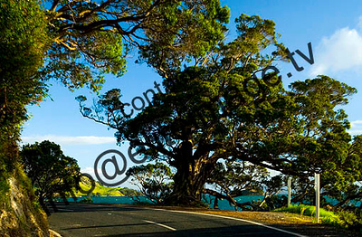 A Northland coastal road winds it way through ancient pohutakawa trees, New Zealand.