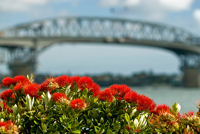 The destinctive crimson bloom of a New Zealand Christmas tree or Pohutakawa by the Auckland Harbour Bridge. New Zealand (landscape)