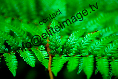 Native tree fern in the Waipoua Forest, Northland, New Zealand